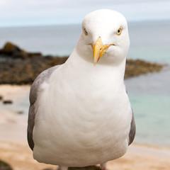 Silbermöwe (Larus argentatus) am Strand Herring Gull