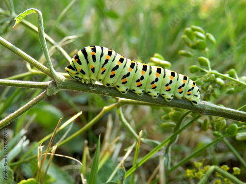 Fotomural Close up of a caterpillar of the Swallowtail Butterfly (Papilio machaon) feeding