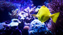 Image Of Zebrasoma Yellow Tang...