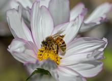 Close Up Of A Honeybee Feeding...