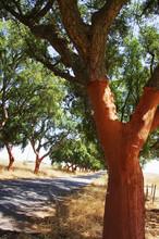 Trunk Of Quercus Suber - Cork Tree