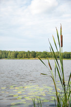 Typha Angustifolia / Typha Angustifolia In The Water In A Lake With A Boat In The Background