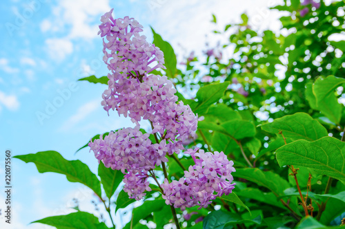 Foto op Canvas Lilac Branch of flowers of a lilac with green leaves