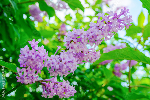 Tuinposter Lilac Branch of flowers of a lilac with green leaves