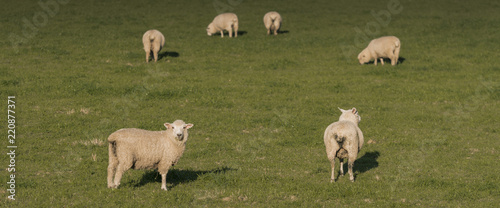 Group of Sheep, NZ