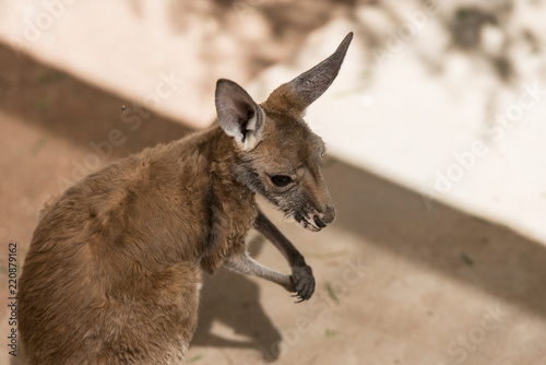 Spoed Foto op Canvas Kangoeroe Kangaroo in captivity