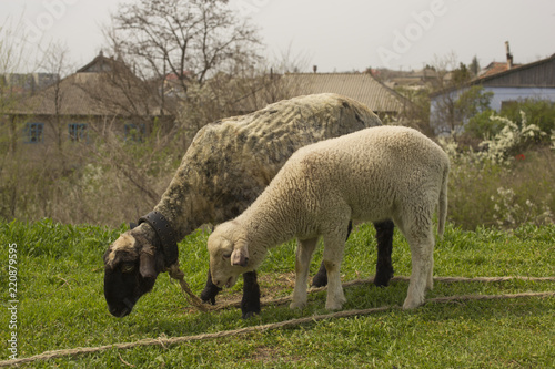 Sheep graze in a meadow on a leash. Strizhenoe animal. Livestock in the villages of Europe. Lamb with mother, on grazing.