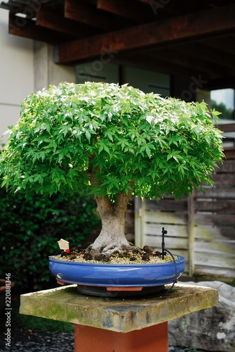 Deurstickers Bonsai Bonsai Maple 45 Years Old