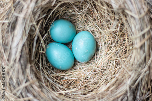 Three beautiful blue robin bird eggs resting in a nest