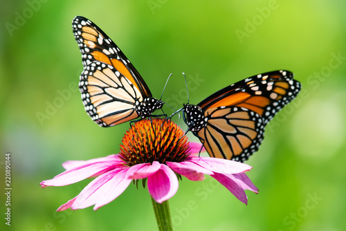 Two monarch butterflies feeding on a pink cone flower Wallpaper Mural