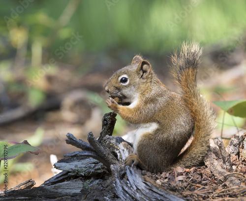 In de dag Zwavel geel American red squirrel (Tamiasciurus hudsonicus)