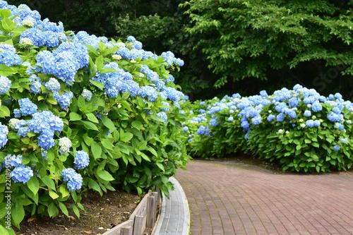 アジサイが咲く公園の散歩道 Fototapeta