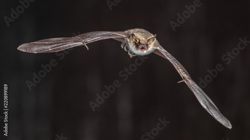 Flying bat on grey background