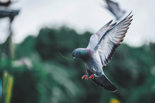 Pigeons Are Flying Out Of Food Early In The Morning Of A New Day.