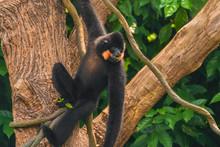 Yellow-cheeked Gibbon (Nomascu...