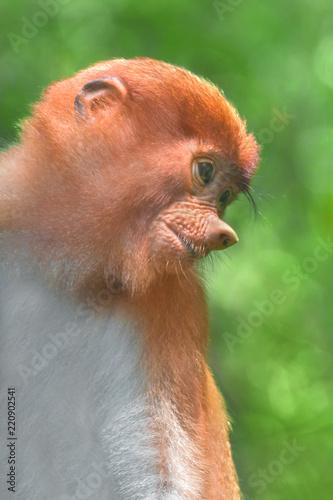 Portrait of a cub proboscis monkey