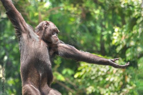 Cuadros en Lienzo Chimpanzee monkey portrait, close-up