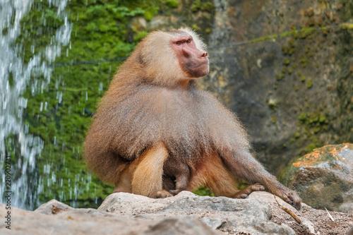 Hamadryad monkey (Papio hamadryas) sitting on a stone