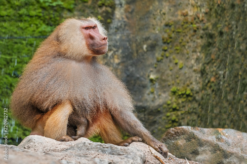 Hamadryad monkey (Papio hamadryas) sitting on a stone