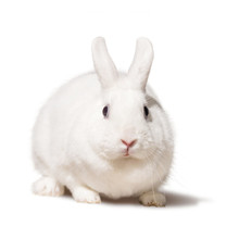 White Fat Rabbit. Isolated On ...