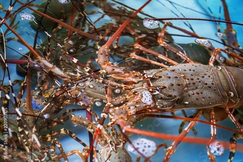 Lobster ( langust) underwater in an aquarium
