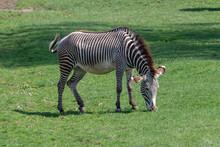 Grevy's Zebra Feeding (Equus G...