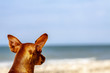 Miniature pinscher observing what is going on at the beach