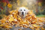 Fototapeta Fototapety na ścianę do pokoju dziecięcego - Golden Retriever schaut aus gelben Blättern im Herbst