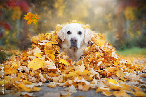Golden Retriever schaut aus gelben Blättern im Herbst