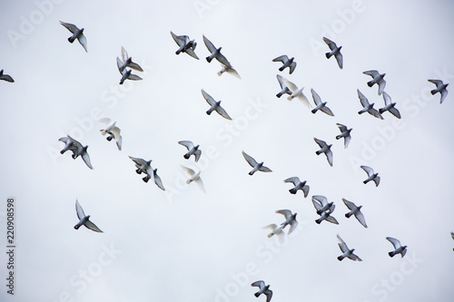 Pigeons flying in the herd