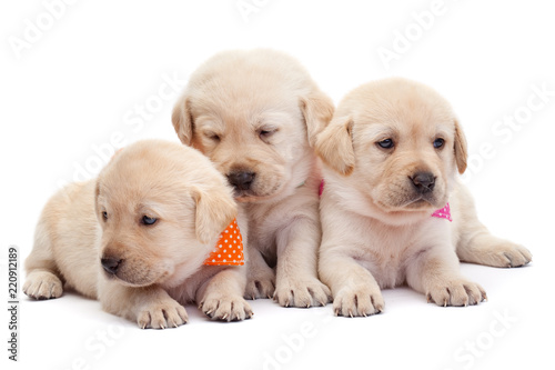 Obraz Three labrador puppy girls showing their adorable look - fototapety do salonu
