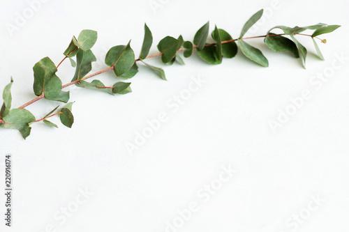 Fotomural green eucalyptus twig on white background