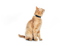 Funny Red Cat In Collar Looking Up Isolated On White