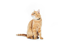 Cute Domestic Tabby Cat With Collar Looking Up Isolated On White