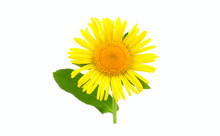 Inula Isolated On White Backgr...