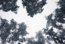 Looking Up At Snowy Trees In Winter