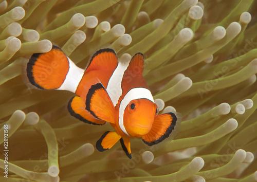 Ocellaris clownfish ( Aphiprion ocellaris ) or false clown anemonefish shelters Fototapete