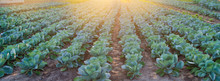 Cabbage Plantations Grow In Th...