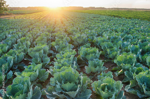 Valokuvatapetti cabbage plantations grow in the field