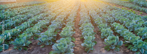 Canvas Print cabbage plantations grow in the field