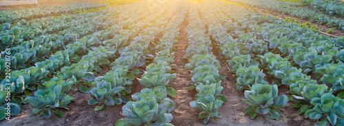 Fényképezés cabbage plantations grow in the field