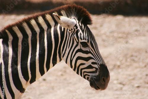 Tuinposter Zebra Cebra