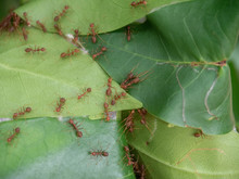 Fire Ant Making Nest On Grean Leaf