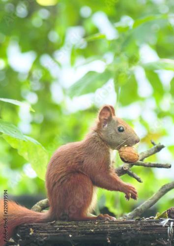 Staande foto Eekhoorn Eichhörnchen mit Nuss