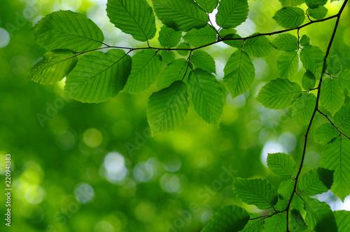 Fototapety, obrazy: Green leaves background