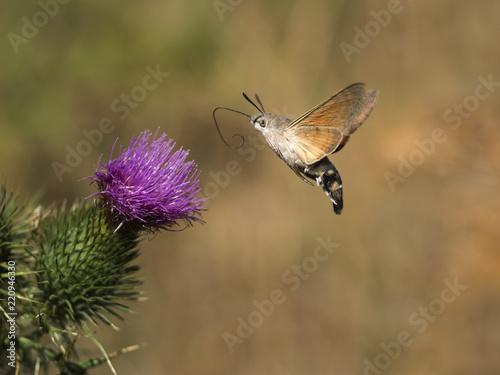 Fotografie, Obraz  Ein bunter Schmetterling fliegt zu einer violett blühenden Blume.