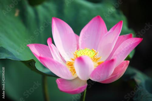 Staande foto Lotusbloem pink lotus flower blossom blooming in pond with green background.