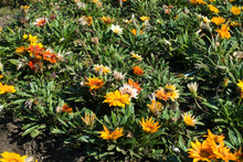 Blooming Gazanias In The Flowe...