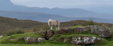 Lone Sheep Stands On A Rocky Outcrop In The Countryside Of The Scottish Highlands, North Of Ullapool, In North West Scotland.