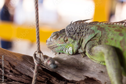 Green  crested iguana